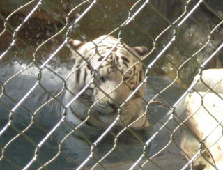Tiger6